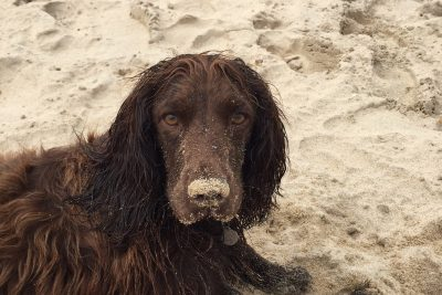 A brown spaniel on a sandy beach near Knoll House